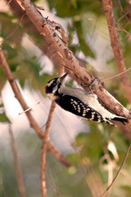 Downy Woodpecker Closeup In A Tree