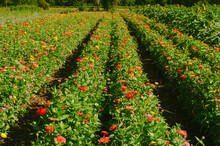Rows Of Zinnia Flowers For Cutting