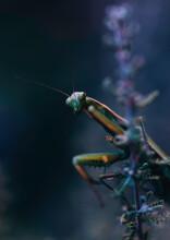Praying Mantis In The Garden