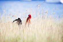 Rooster With A Bright Red Comb Walking Through Tall Golden Grass