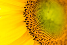 Macro Photography Showing The Details Of A Sunflower.
