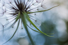 Closeup Of Dandelion Fluff