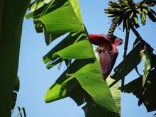 Close At A Banana Tree And Its...