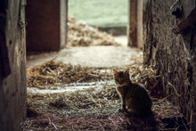 Baby Cat In A Cowshed