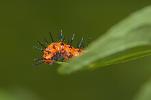 Gulf Fritillary Butterfly Caterpillar Eating The Tip Of A Leaf