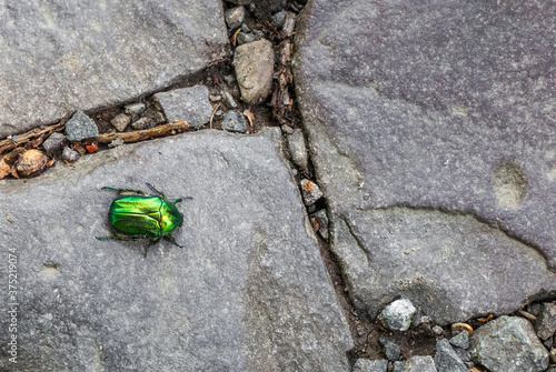 Canvas-taulu Green rose chafer beetle crawling along cobbled road