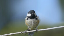 Coal Tit Sitting On A Gate In A Wood UK