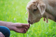Person Feeding Young Goat