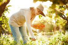 Woman Farmer Picking Calendula...