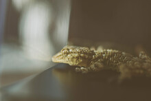 Portrait Of A Gecko Inside A G...