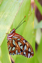 Gulf Fritillary Butterfly On A Resting Dew Covered Leaf