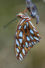 Metamorphosis Complete, A Gulf Fritillary Butterfly Clings To Chrysalis