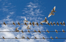 Group Of White Pigeons Landing On Wires