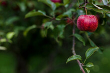 A Ripe Apple Hanging On The Branch Of An Apple Tree.