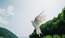 Free Dove Flying Away