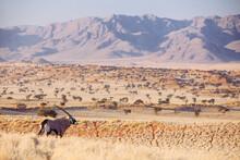 Lone Oryx On A Grassy Plain
