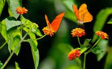 Bright Orange Dryas Julia Butterflies Feeding On Lantana Against Dark Background Costa Rica