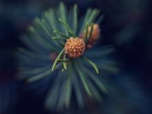 Macro Of Pine Tree Needles