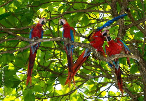 Calm and agitated pairs of Scarlet Macaws in an Almond tree in Carate Costa Rica Canvas Print