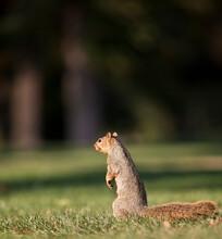 Eastern Fox Squirrel Standing In Grass