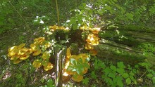 Large Cluster Of Poisonous Jack-o-Lateran Mushrooms Growing On A Log In A Shadowed Forest In Central Illinois - Looping