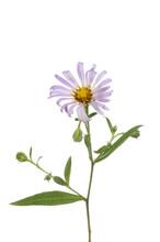 Michaelmas Daisy Flower