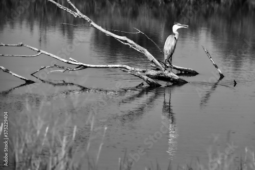 Fotografia Great blue heron perched on a branch in black and white.