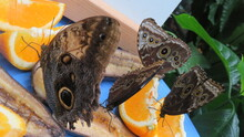 A Cluster Of Butterflies Feeding On Oranges