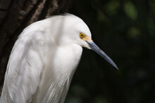 Profile Of A Snowy Egret