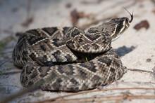 Coiled Eastern Diamondback Rattlesnake Flicking Tongue