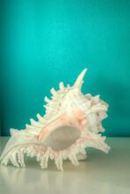 Pacific Murex Ramosus, Chicoreus Ramosus, Shell Against An Aqua Blue Green Background