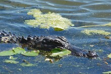 Close Up Alligator Head And Neck Isolated With Copyspace On Blue Water With Green Algae Wildlife In Natural Habitat Swamp Marsh River Crocodile Large Predators Lizard Scales Dangerous Carnivore Wild