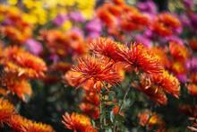 Red-orange Chrysanthemums On A...