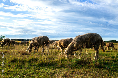 Cattle grazing. Sheep animals eating fresh grass in rural area. Wallpaper Mural