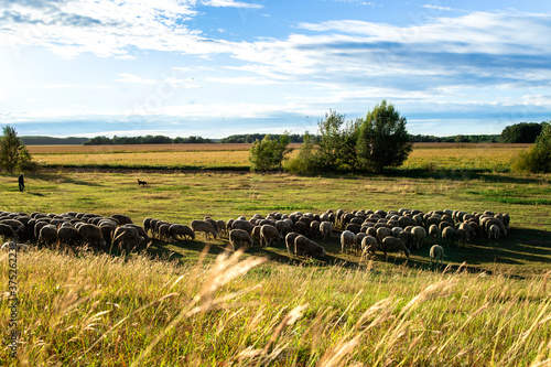 Group of sheep animals eating fresh grass on farmland Canvas Print