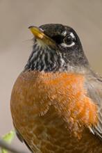 American Robin Close Up Portrait