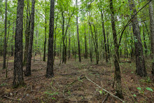 Trees Line In The Forest Of Broken Bow Oklahoma Tree Trunks Branches Woods Floor