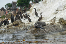 Seal And Flock Of Cormorants On The Rock In The Ocean.