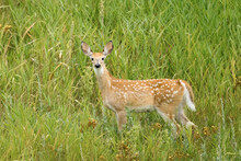 Young Yearling White Tail Deer.