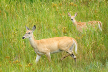 Mom And Fawn Walking In The Gr...