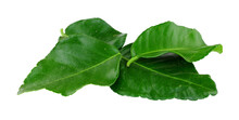 Fresh Kaffir Lime Leaves Used To Add A Lemon And Citrusy Flavour To Thai And Asian Food Isolated On A White Background