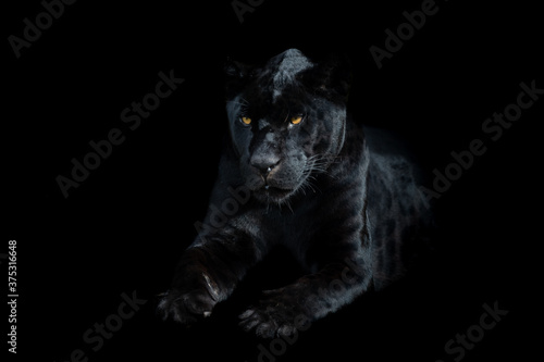 Fotografie, Tablou Black panther with a black background