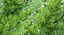 Closeup Green Leaves Of Evergreen Coniferous Tree Lawson Cypress Or Chamaecyparis Lawsoniana After The Rain. Extreme Bokeh With Light Reflection. Macro Photography, Selective Focus, Blurred Background