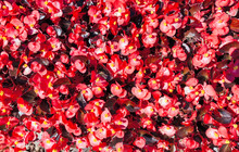 Flowers Begonia Flowers From A...