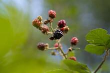Closeup Shot Of Boysenberries ...