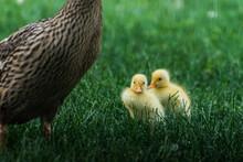 Two Yellow Fluffy Baby Ducks I...