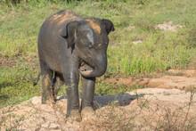 Young Wild Elephant Throwing Sand Over Its Back, In Yala National Park, Sri Lanka