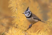Crested Tit Sitting On A Larch...