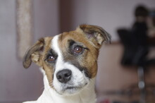 Pensive Jack Russell Terrier Looking Out The Window