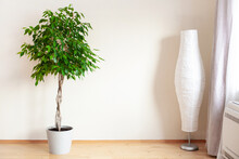Ficus Benjamina Large Green Houseplant With Long Braided Stem